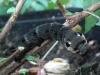 horsmakiitäjä 2 toukka